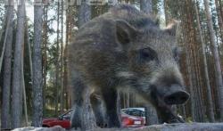 В Барановичском районе стадо диких кабанов пошло в лобовую атаку на микроавтобус
